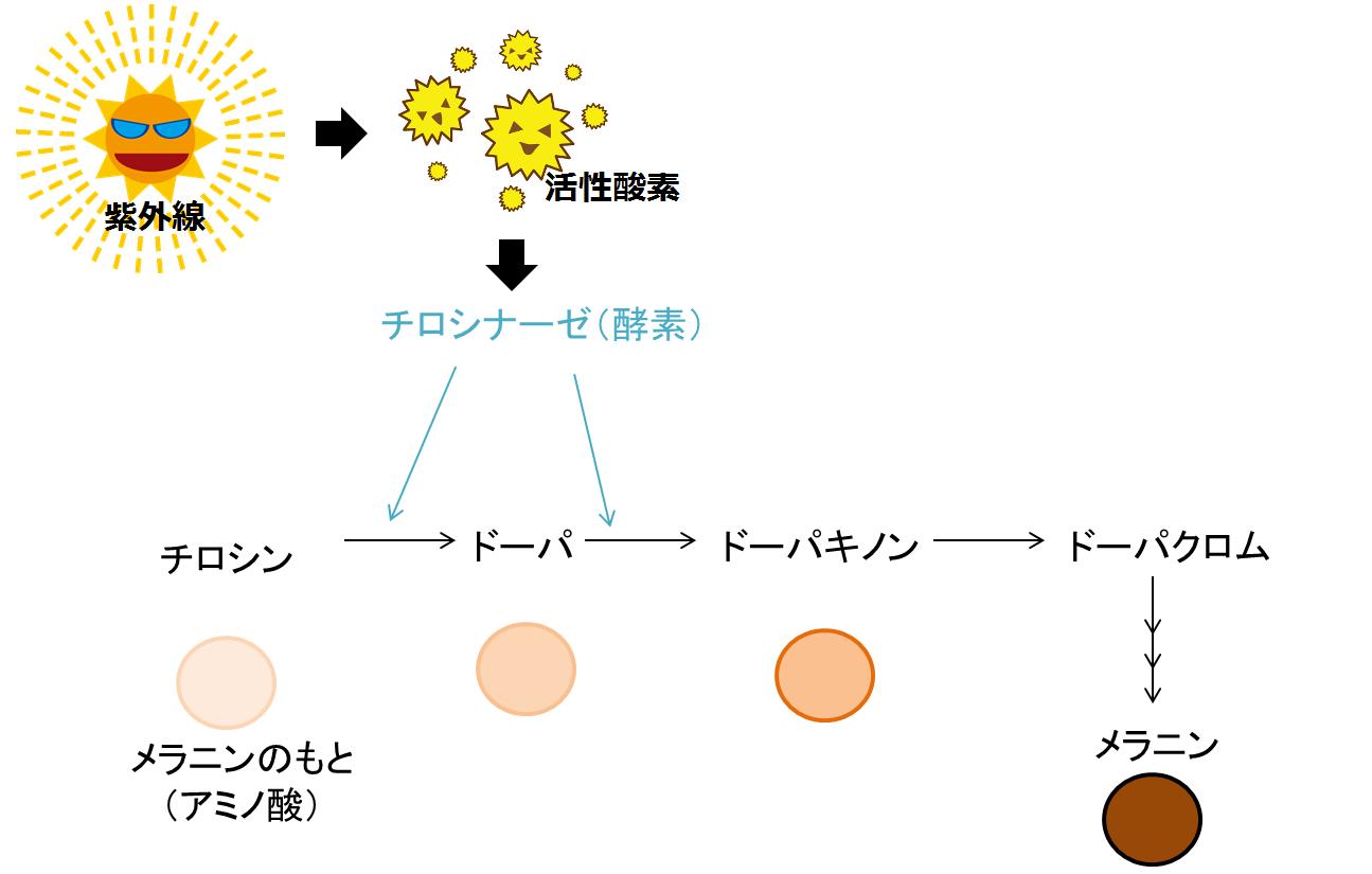 メラニン生成過程